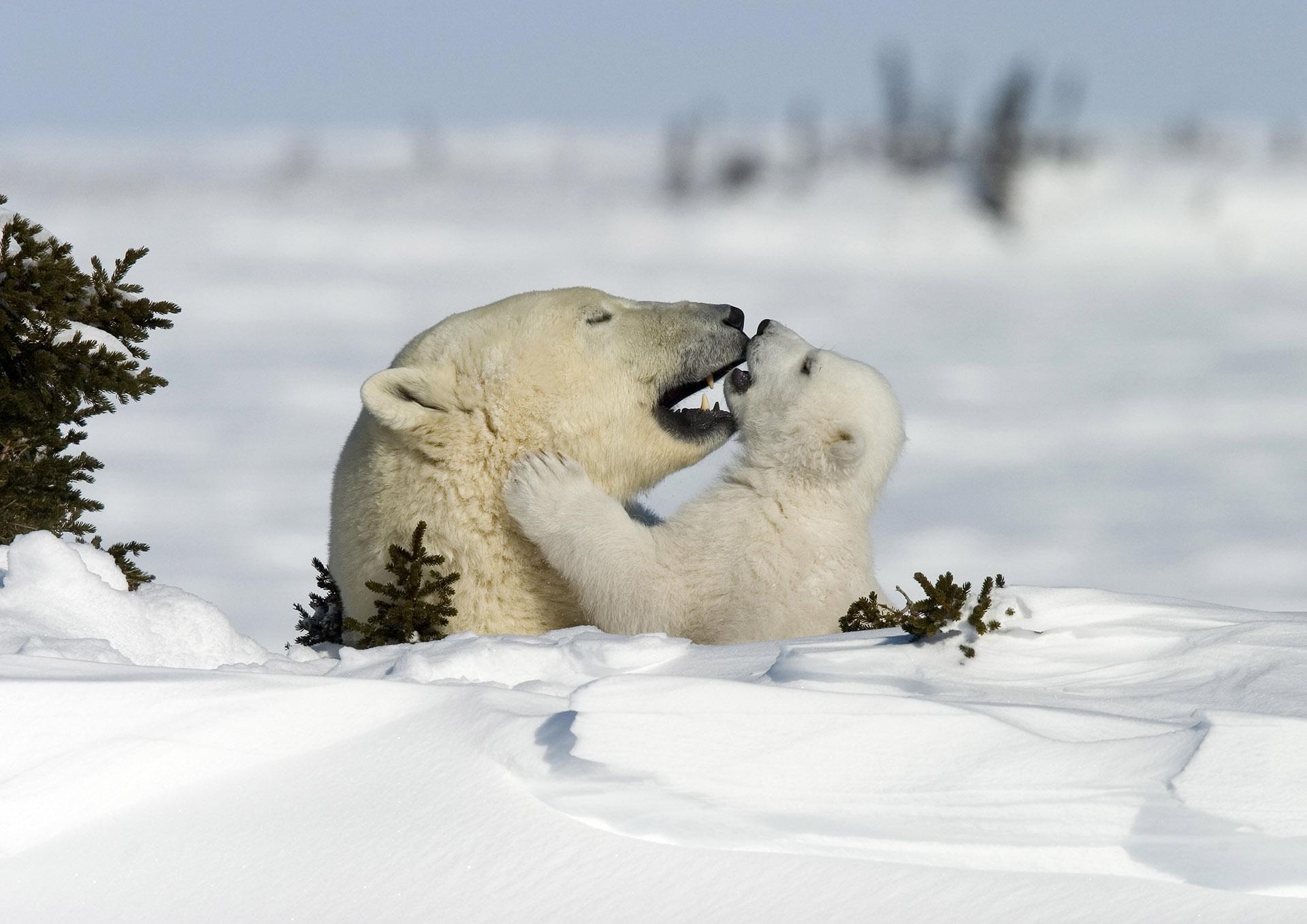 Für junge Eisbären ist fehlendes Eis besonders bedrohlich, da sie nicht so viele Reserven besitzen © Thorsten Milse