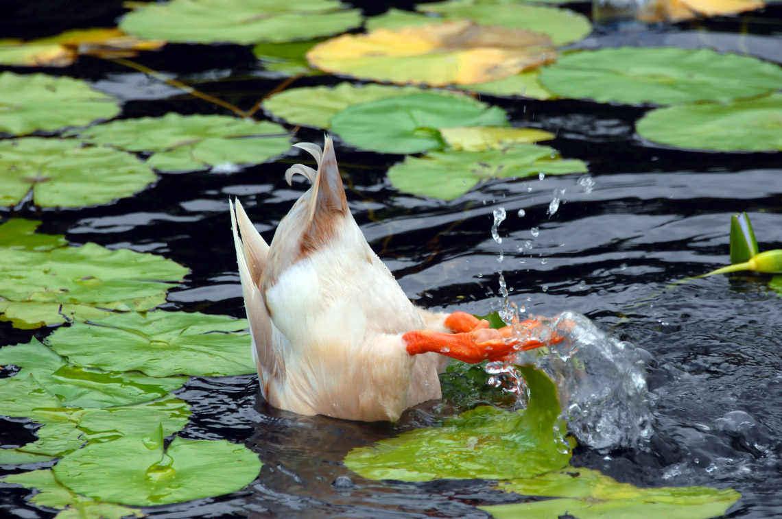 Enten füttern: Ente mit Schwänzchen in der Höh` - wie im Kinderlied