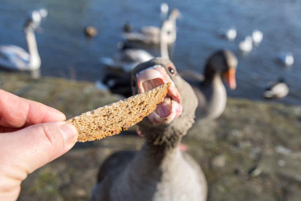Ente frisst Brot aus der Hand
