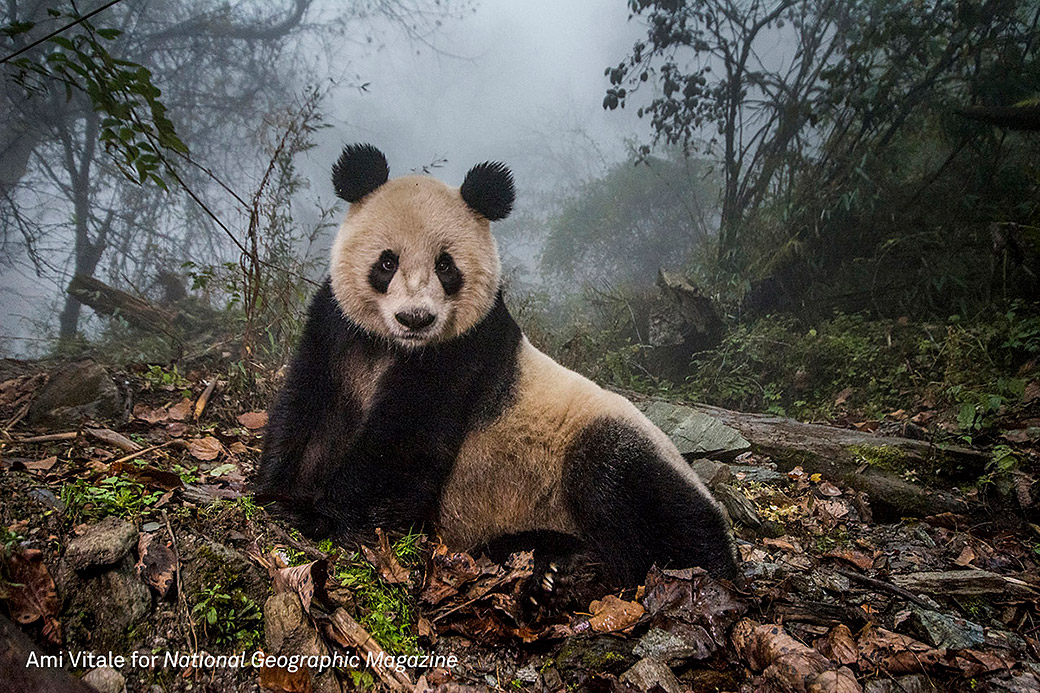 Großartige Aufnahme aus Ami Vitales Sieger-Fotoreihe: Panda Ye Ye wartet auf seine Auswilderung. Momentan lebt er noch im Wolong Naturschutzzentrum. .© Ami Vitale/ National Geographic Magazine/World Press Photo