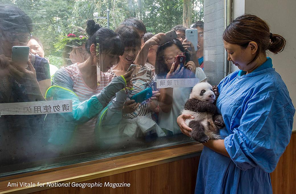 Fast schon königlicher Nachwuchs. Im Bifengxia Panda Reserve wird ein Panda-Welpe der Welt präsentiert.© Ami Vitale/ National Geographic Magazine/World Press Photo