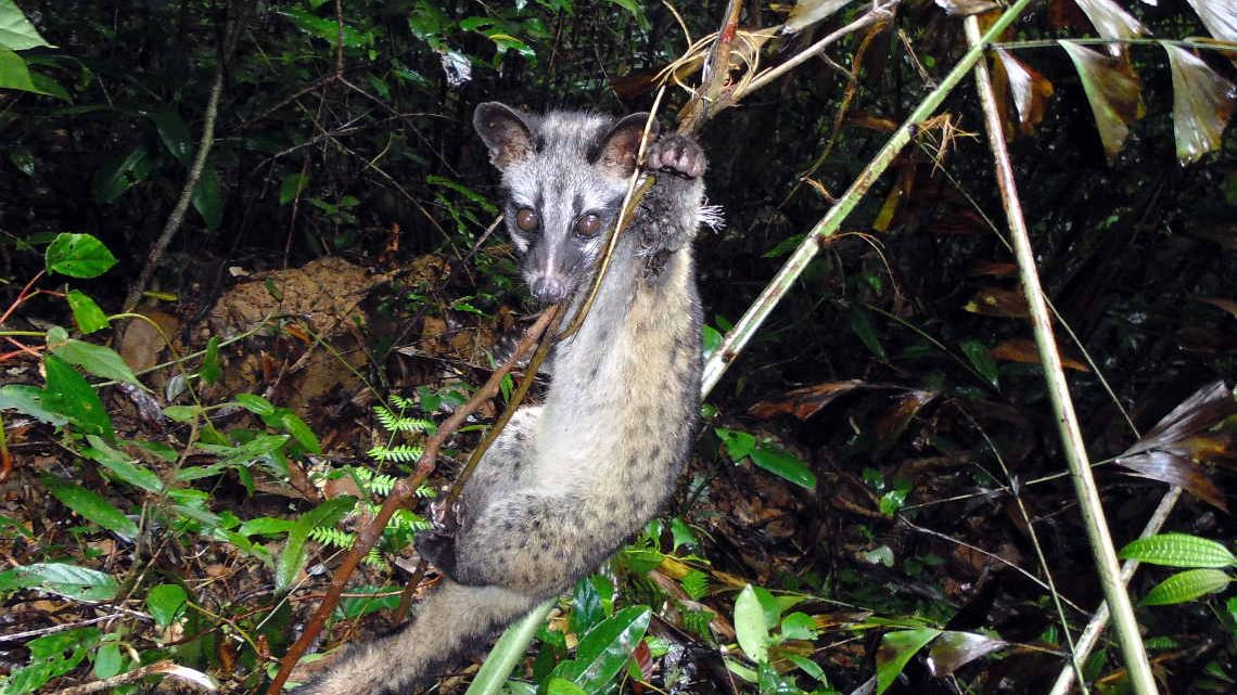 Gefange Schleichkatze in einem Wald in Vietnam. Auch sie werden füpr Buschfleisch gejagt