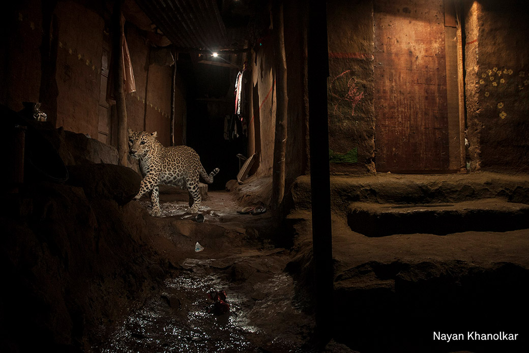 Leoparden in Mumbai: In Indien kommt es immer wieder zu Angriffen