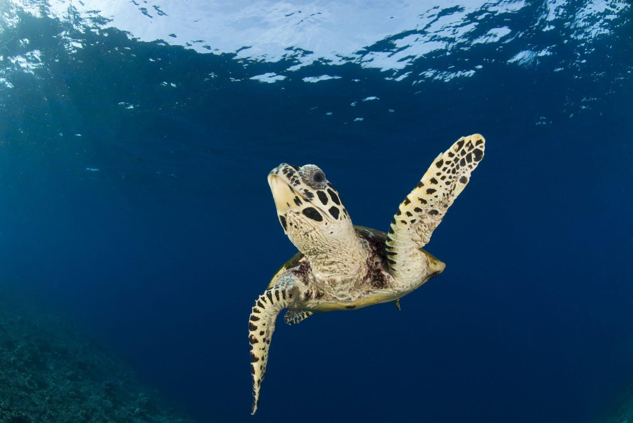 Auf der Suche nach Liebe? Schildkröte unter Wasser