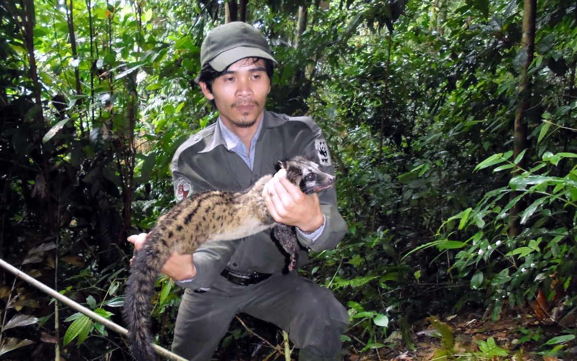 Doch kein Buschfleisch: der WWF ranger rettet die Schleichkatze aus der Falle