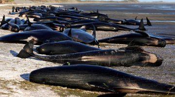 Grind wale sind eigentlich delfine - und bewegen sich meist in sozialen Gruppen