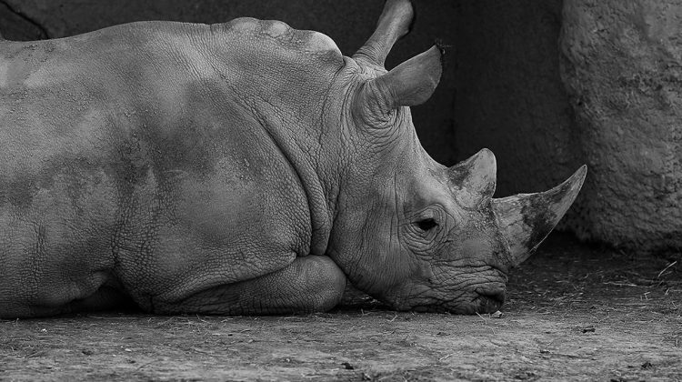 Ein Nashorn im Pariser Tierpark. © Picture Alliance