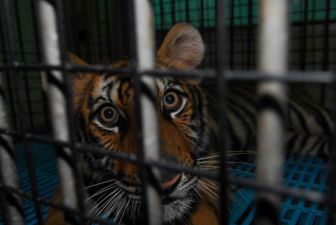 Tigerfarmen: Tiger im Käfig