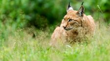 Luchs: der wwf ist an den Auswilderungen im Pfälzerwald beteiligt