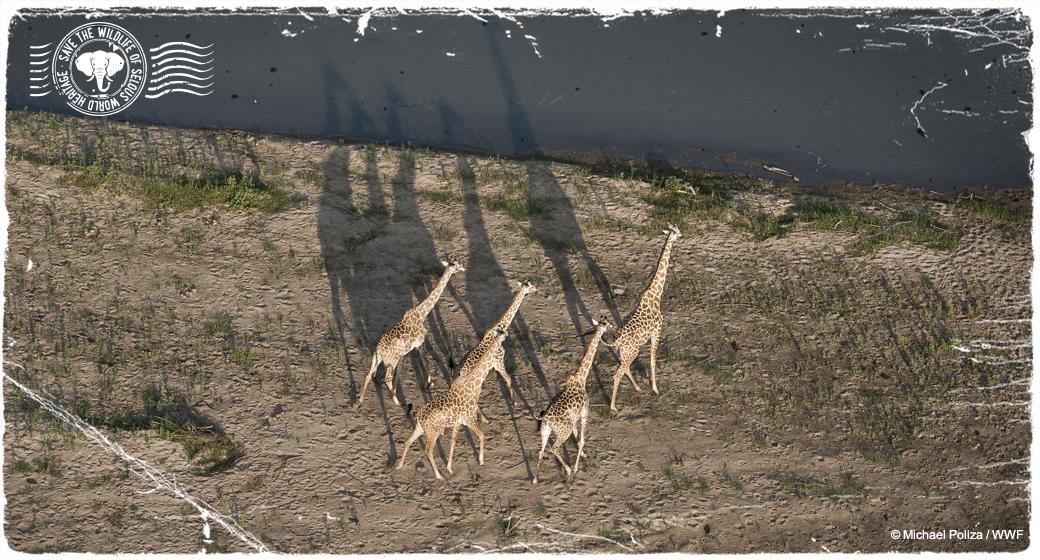 Giraffen in Selous, Tansania