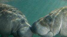 Seekühe: Zwei Manatis beim knutschen
