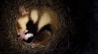 Feldhamster beim schlafen