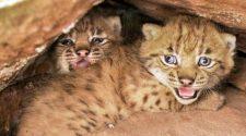 Luchse haben Nachwuchs: Luchsbabys in der Erdhöhle