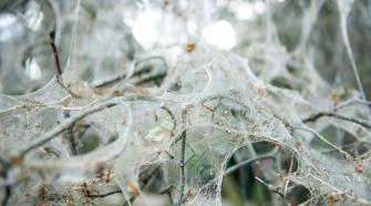 Gespinstmotten in der Hasenheide © Peter Jelinek