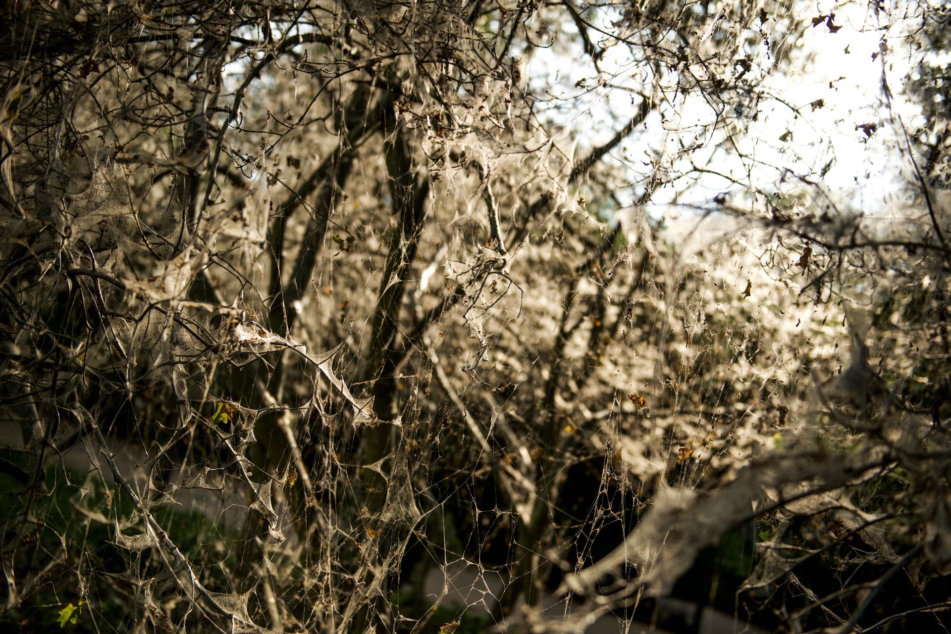 Das Werk der Gespinstmotten ist ein beeindruckendes Naturschauspiel. Unmittelbar nach dem Schlüpfen beginnen die Raupen, den Baum einzuweben. © Peter Jelinek