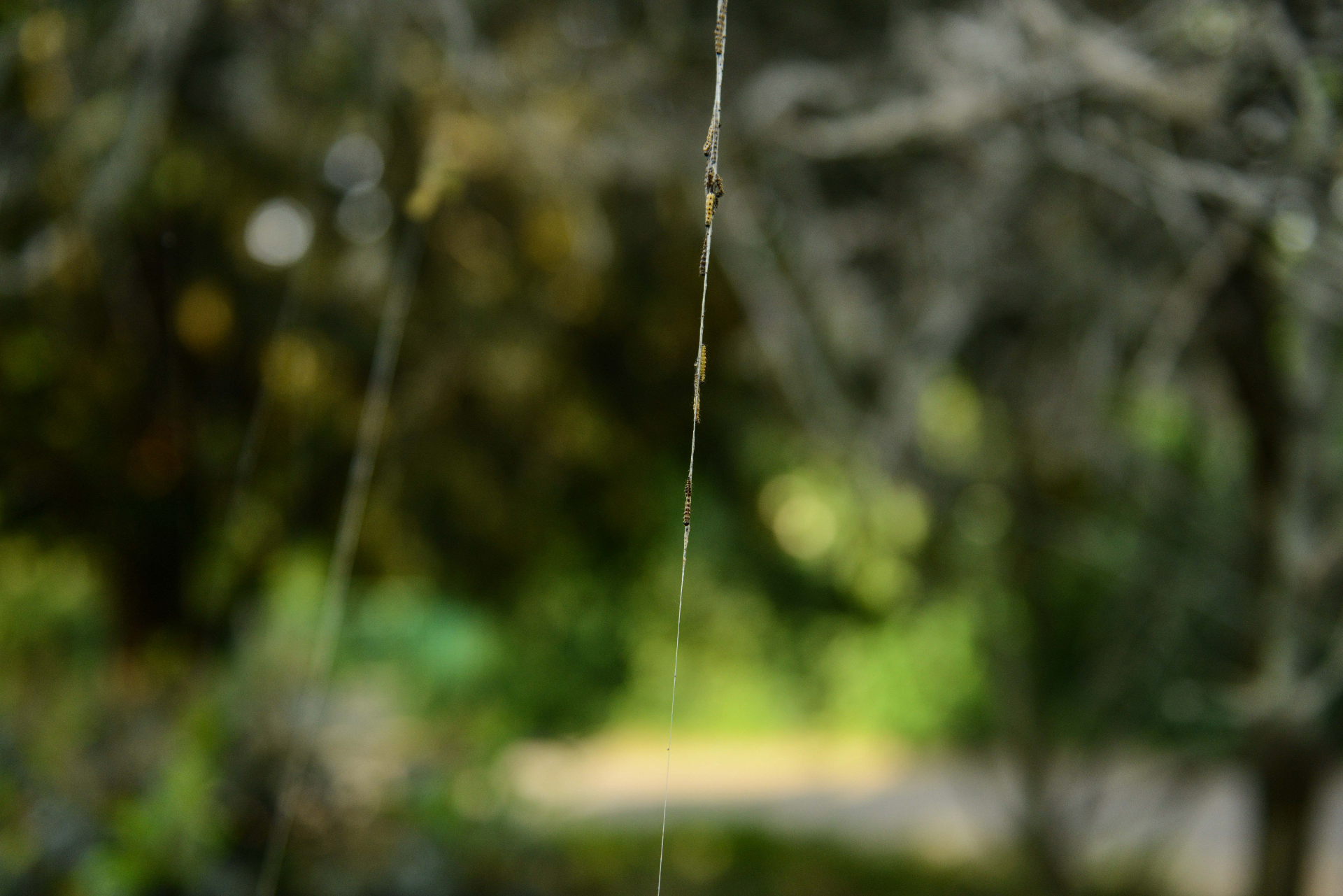 Unmittelbar nach dem Schlüpfen beginnen die Raupen, den Baum einzuweben. © Peter Jelinek