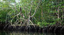 Mangroven gehören zu den artenreichsten Ökosystemen der Welt © Adriano Gambarini / WWF
