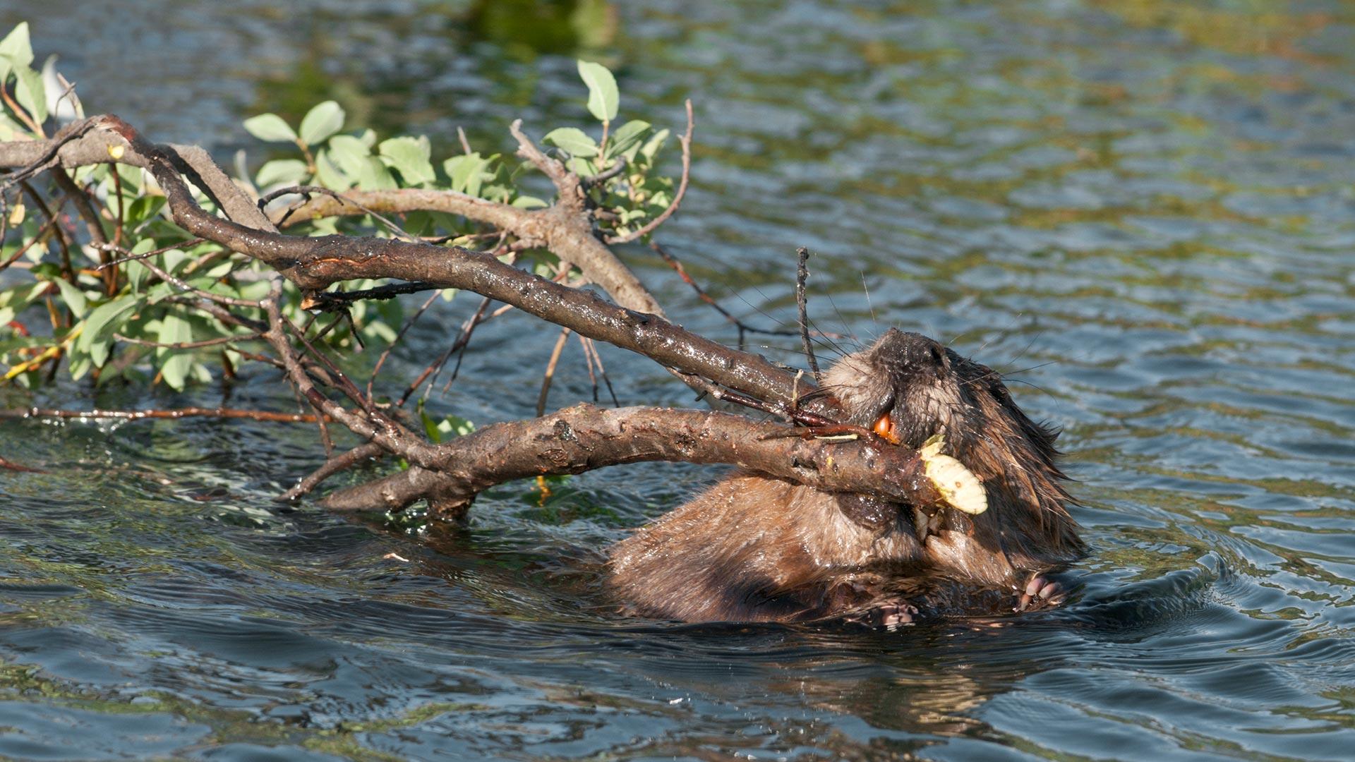 Biber galten im Mittelalter als Fisch ©Ron Sanford / iStock / Getty Images