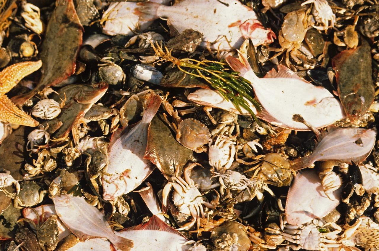 Der Beifang der Krabbenfischerei: Jungfische, kleinen Fische, Krebse oder Seesterne © Hans-Ulrich Rösner