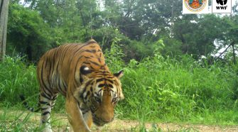 Tiger in Thailand: In die Kamerfalle getappt © Thailand Department of National Parks and Wildlife Conservation/WWF-Thailand