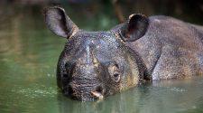 Sowohl die Java- als auch die Sumatra-Nashörner sind stark vom Aussterben bedroht © Stephen Belcher / WWF