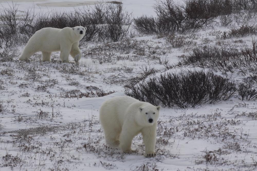 Heute haben wir endlich Eisbären aus nächster Nähe gesehen © Melanie Gömmel / WWF