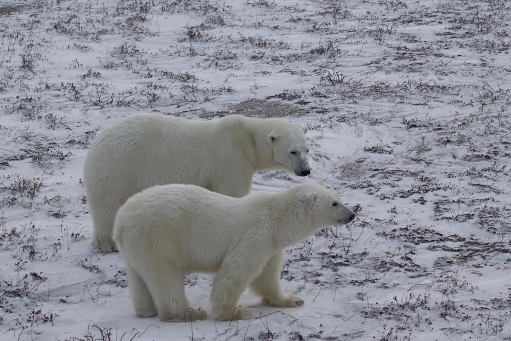 Ein magischer Moment: Wir sehen ein Eisbären-Weibchen mit einem Jungen © Melanie Gömmel / WWF