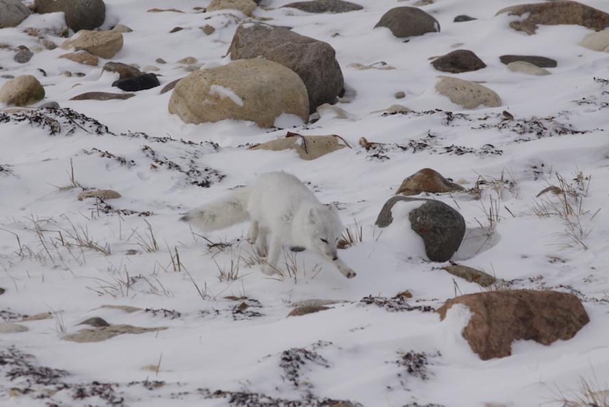 Sogar ein Polarfuchs wagte sich vor unsere Kamera. © Melanie Gömmel / WWF