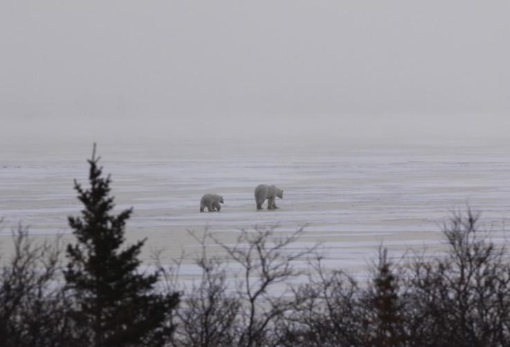 Die Fastenzeit ist vorbei: Die Eisbären wandern Richtung Norden © Melanie Gömmel / WWF