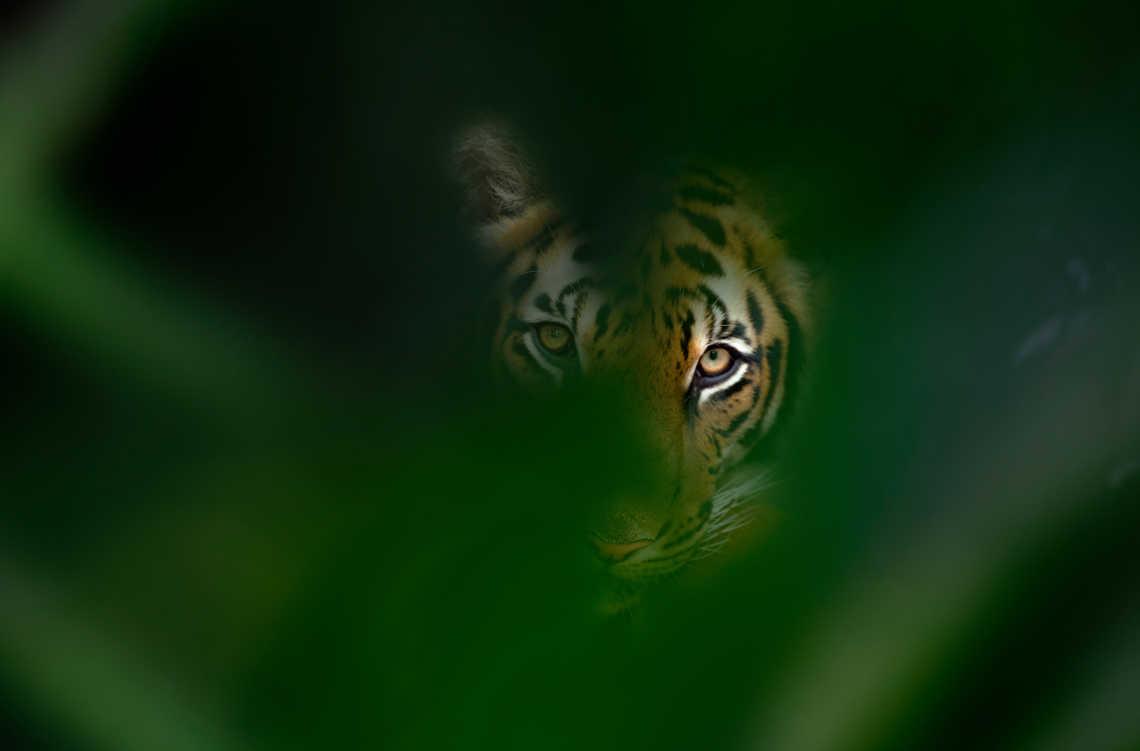 Tigerschutz bedeutet Waldschutz: Tiger schaut aus seinem Versteck im Wald, Thailand