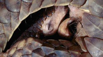 Schuppentiere: Die am meisten gehandelten Tiere der Welt