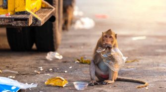 Plastikmüll: Affe frisst Plastik