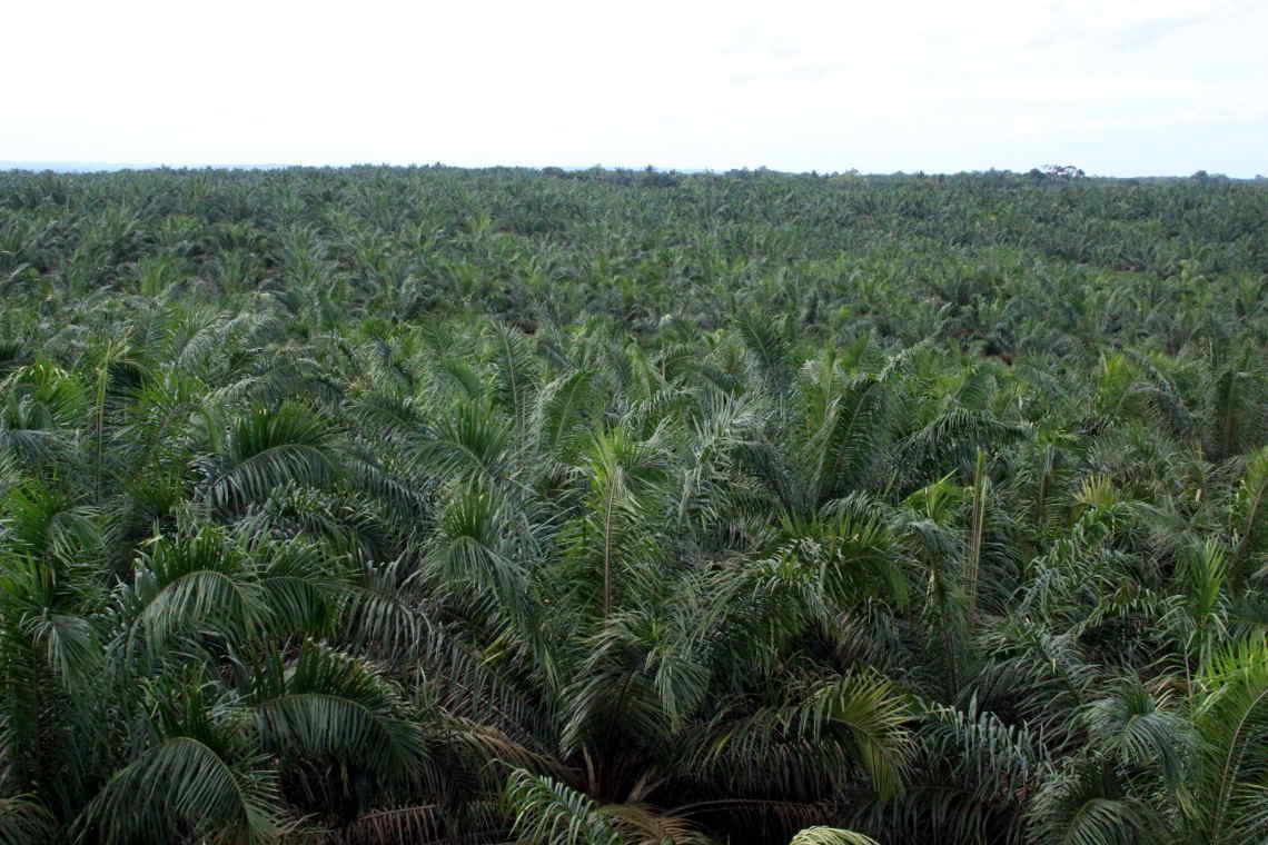 Palmöl monokultur von oben