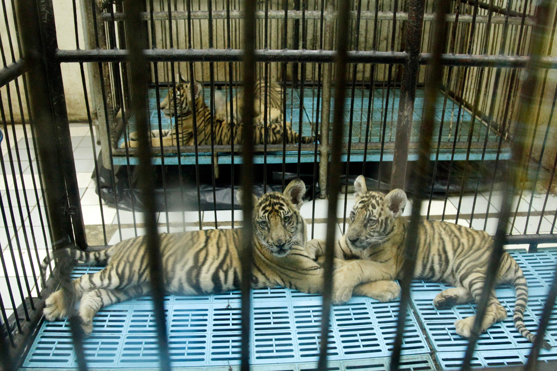Tigertempel Tigerhandel Tigerfarmen: Laos hatte angekündigt, seine Tigerfarmen zu schließen. Doch nichts ist passiert.
