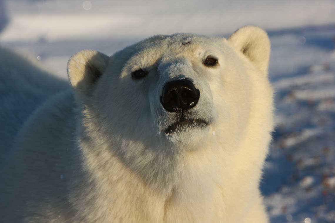Koalitionsvertrag: Eisbären finden es nicht so gut