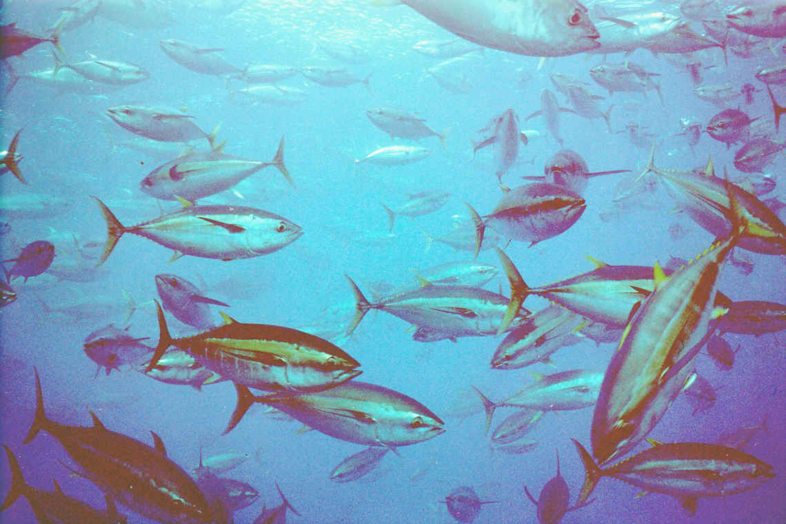 Thunfisch Schwarm