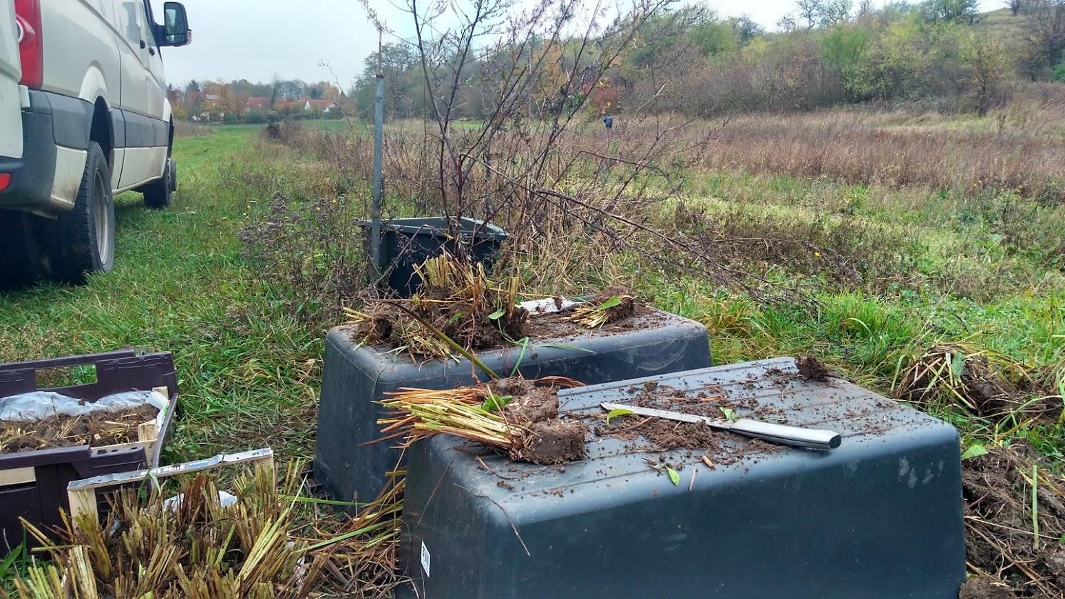 Elbe: Schwertlilien werden vorbereitet