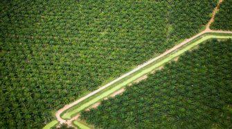 Aerial view of oil palm plantation. Sungai Petani vicinity, Kedah, Malaysia