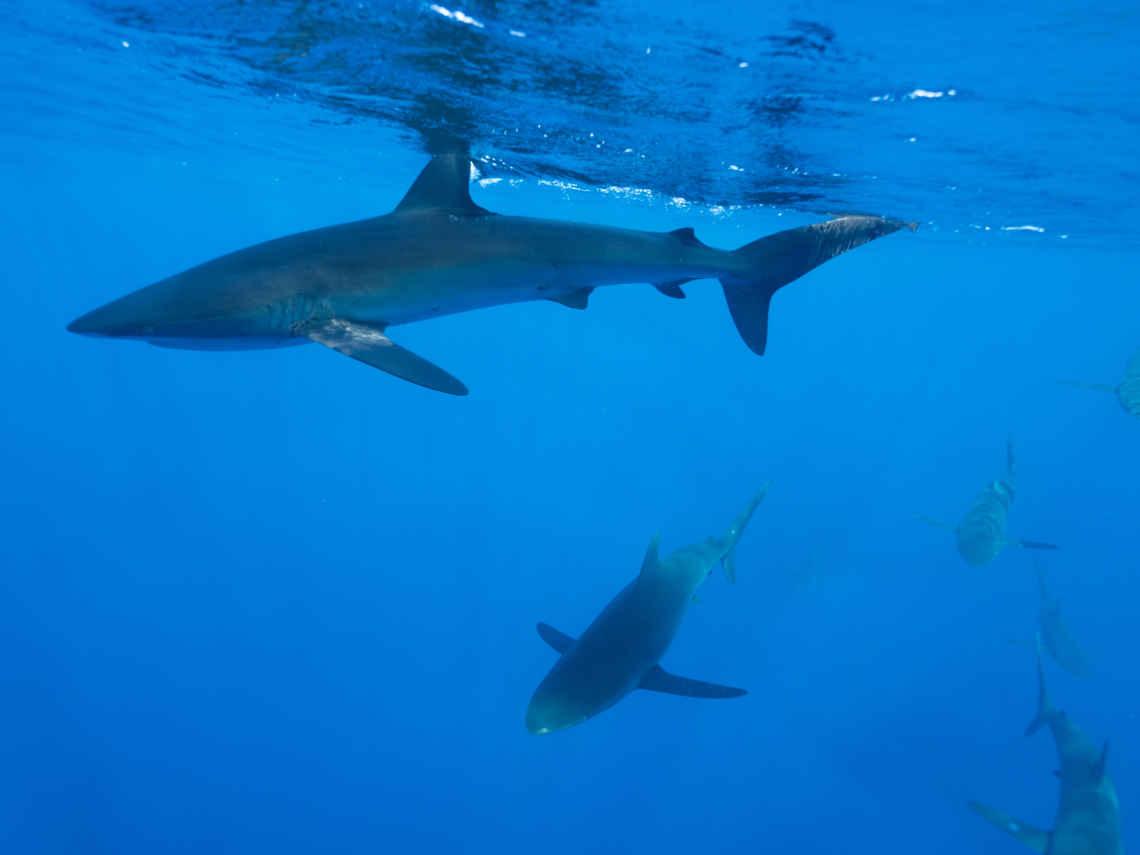 MSC Ein Schwarm Seidenhaie