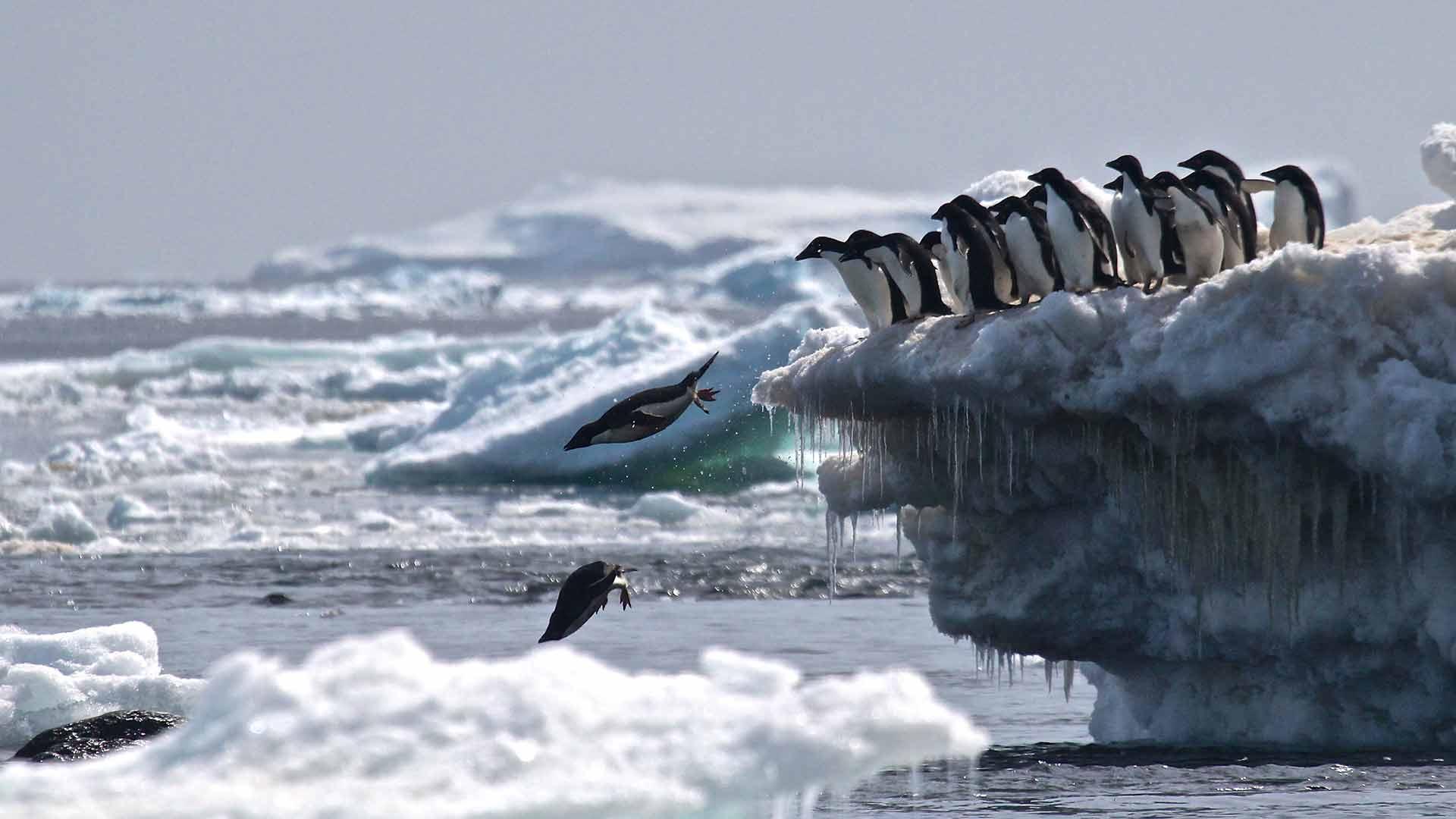 Pinguine springen ins Wasser