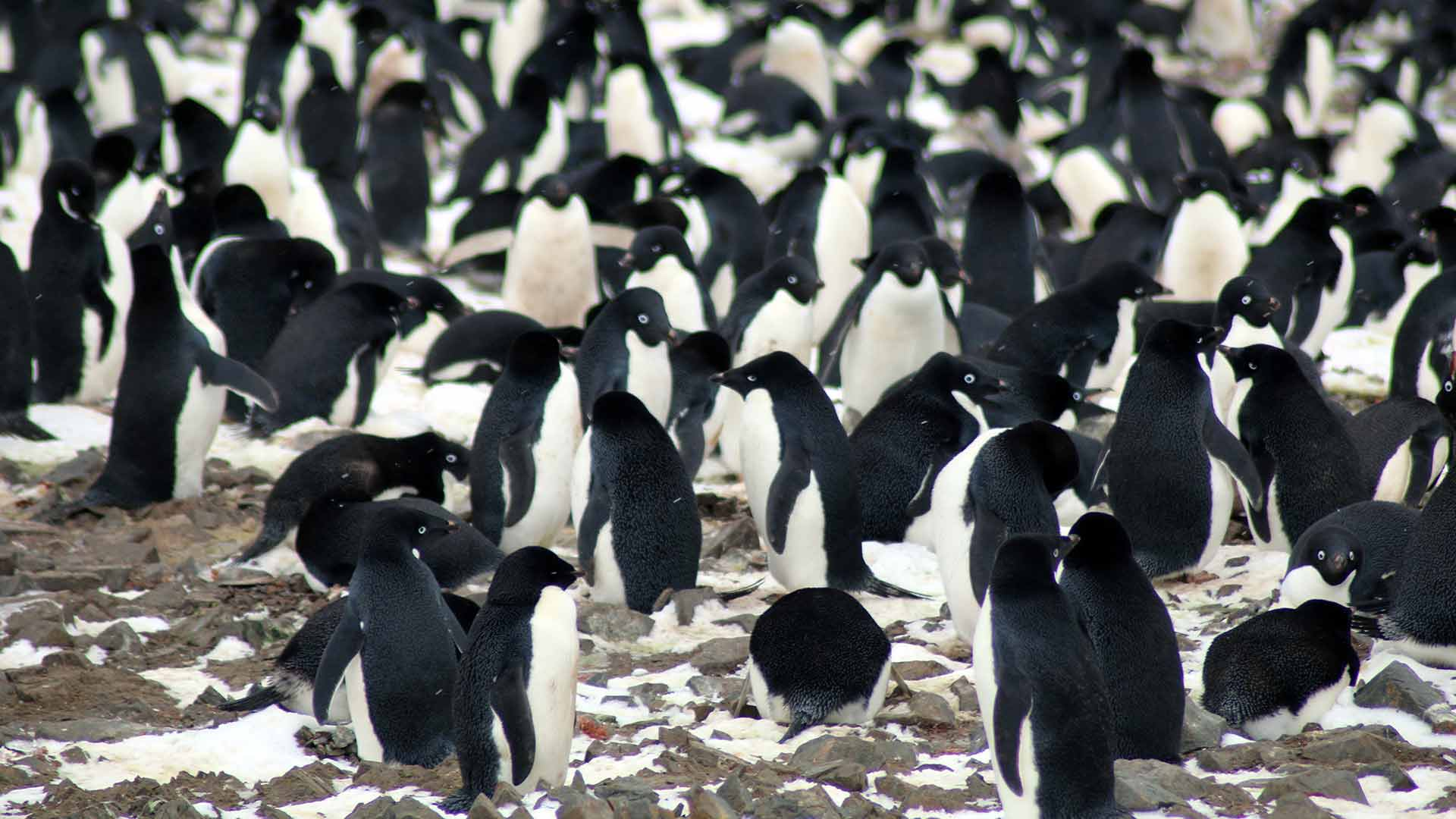 Pinguine springen ins eisige Wasser der Antarktis