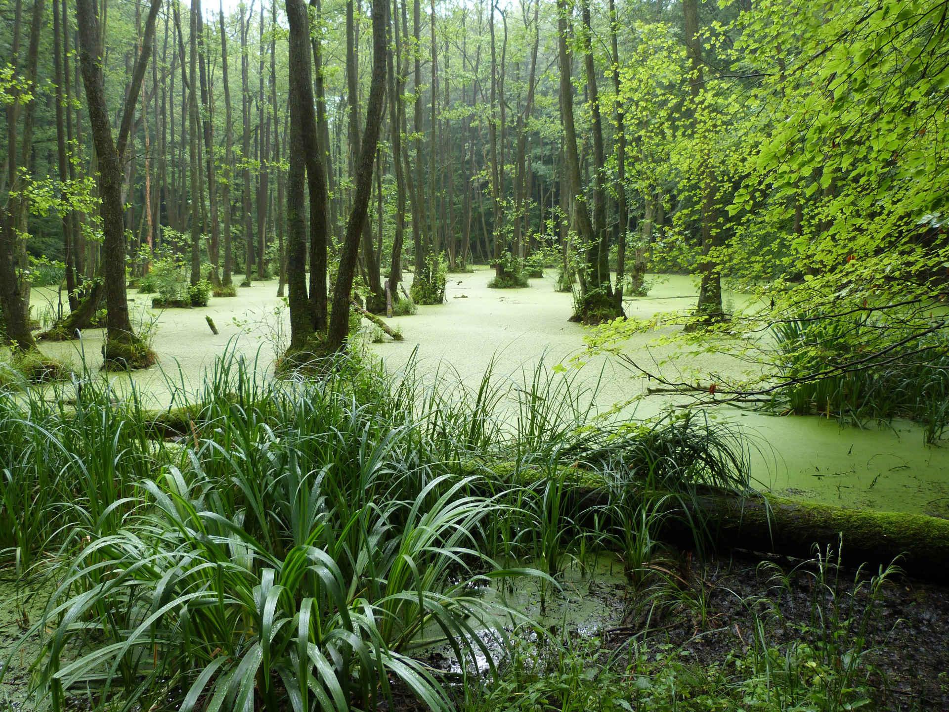 Überfluteteter Wald in der Uckermark
