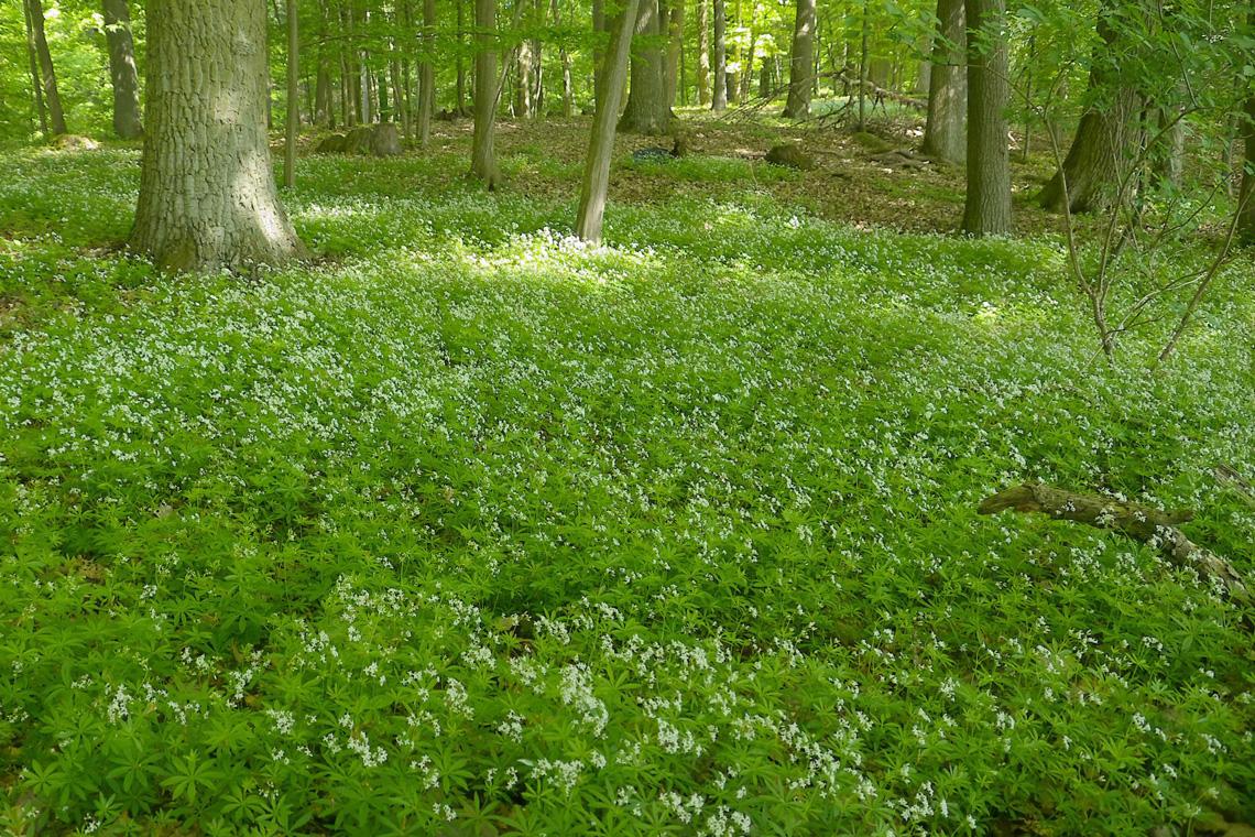 Waldmeister sammeln - aber richtig! Mit Rezept für verschiedene leckere Mai-Bowlen.
