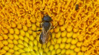 Bienen Pflanzen: Die Sonnenblume gehört dazu