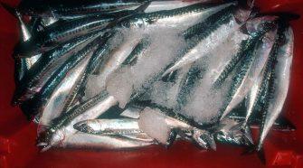 MSC - Eisbox mit Makrelen