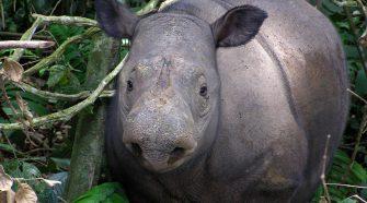 Sumatra Nashorn