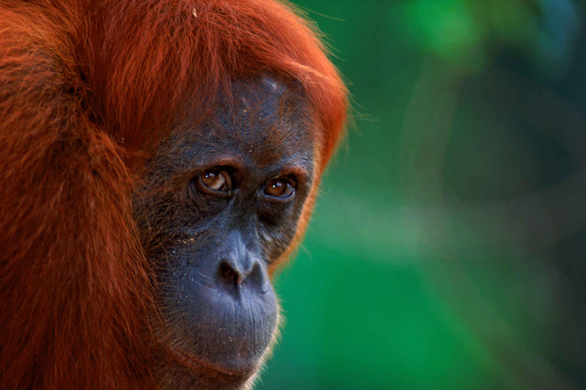Orang-Utans: Nezue Studie zeigt, dass Hundertausende auf Borneo verschwunden sind