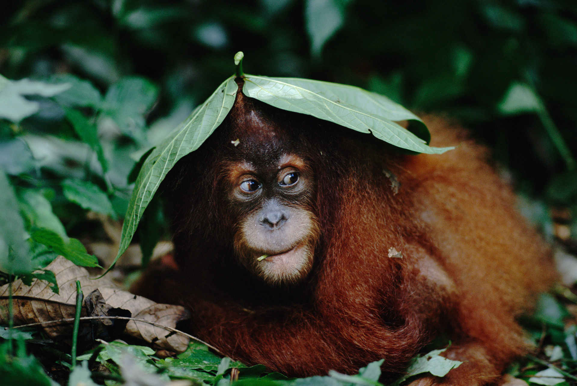 Orang-Utan unter Blättern