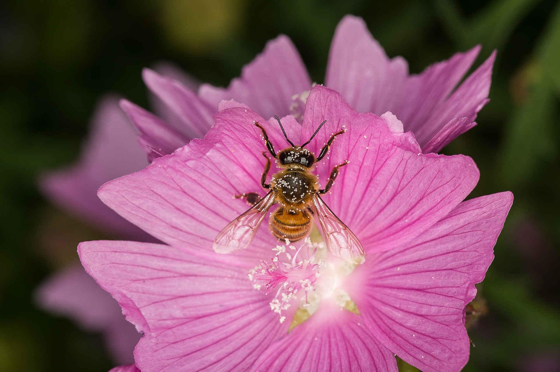 Bienefreundliche Pflanzen: Westliche Honigbiene auf Blume