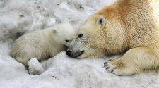 Es wird eng für die Eisbären. © Anne Thoma / WWFEs wird eng für die Eisbären. © Anne Thoma / WWF